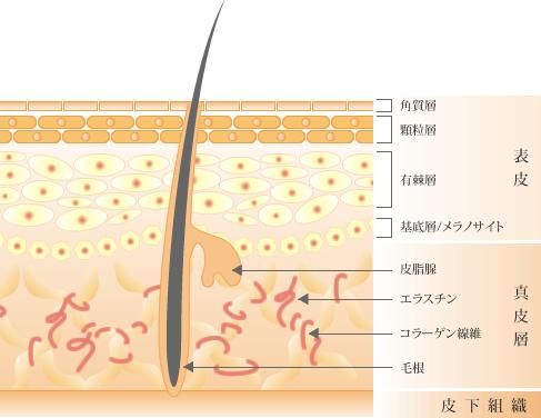 皮膚組織の構造図